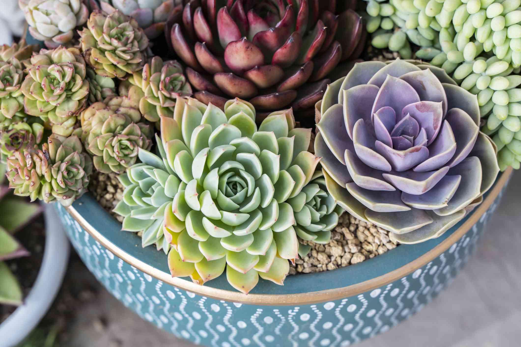 Multicolored succulents in blue pot