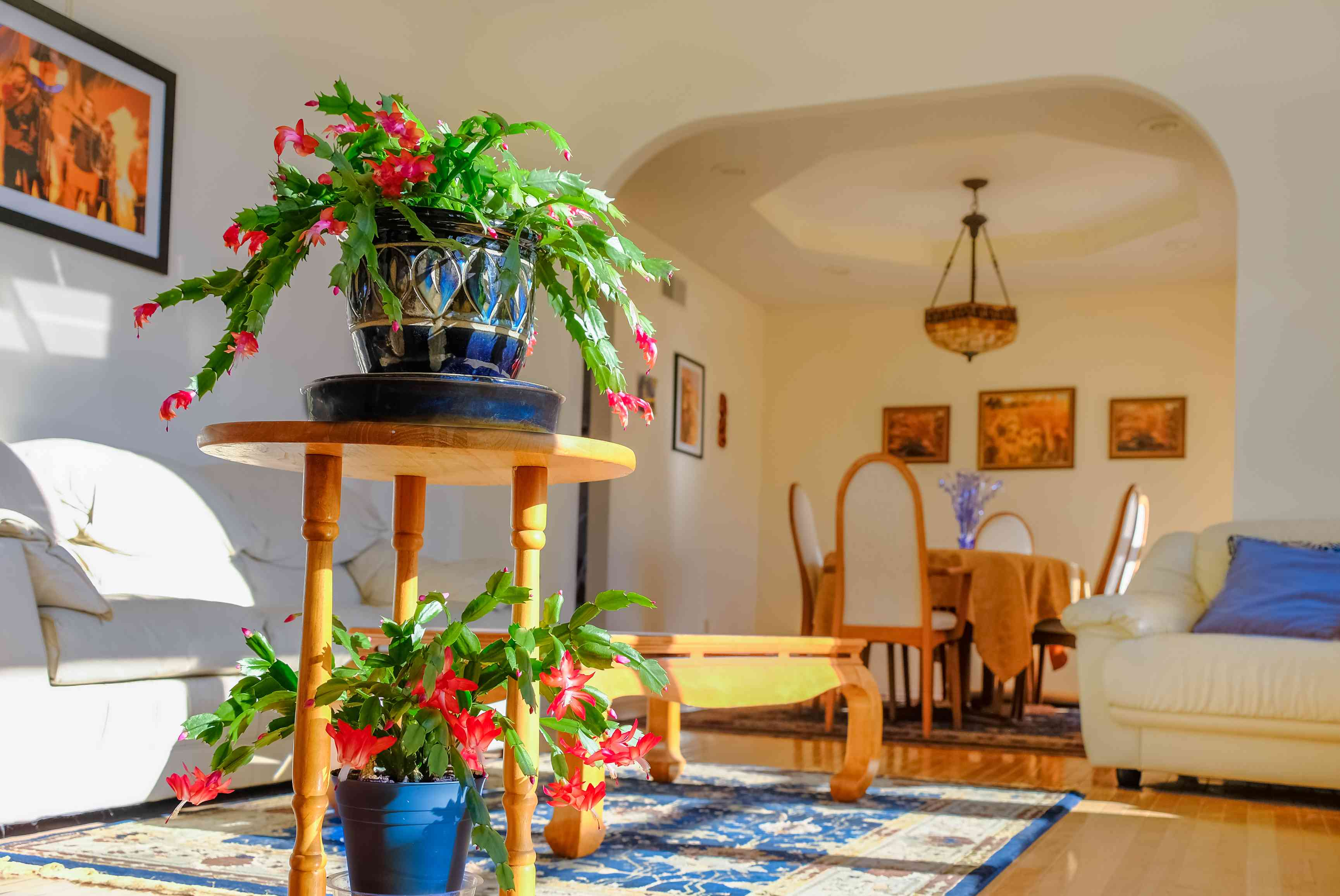 two christmas cactus plants with bright red flowers and green leaves on wooden table in brightly lit living room