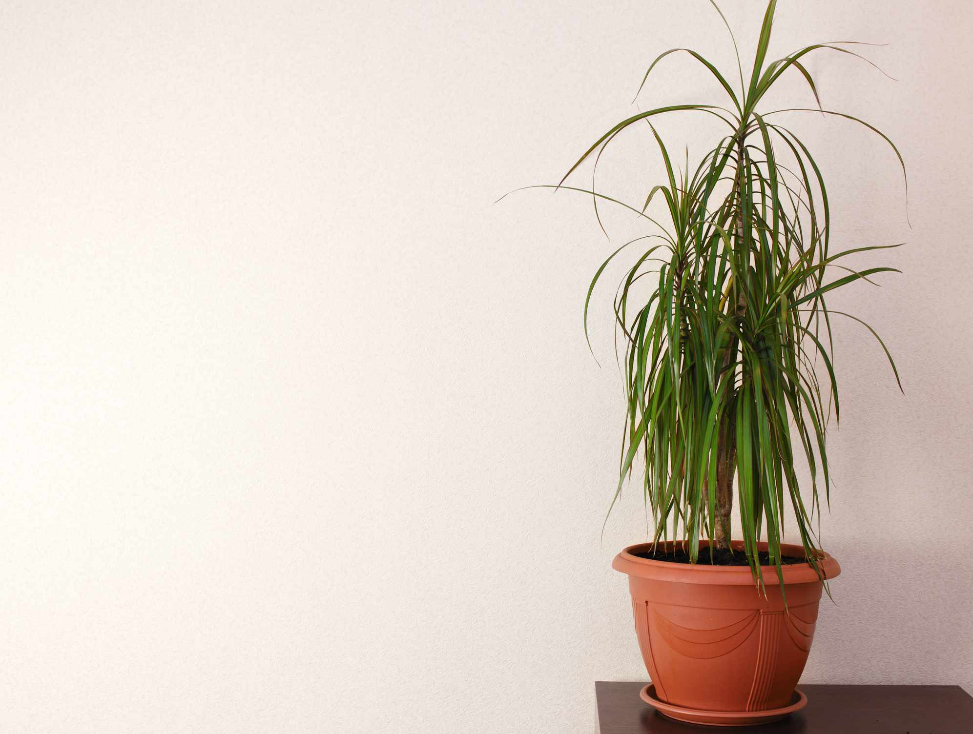 Potted ponytail palm (Beaucarnea recurvata) growing indoors