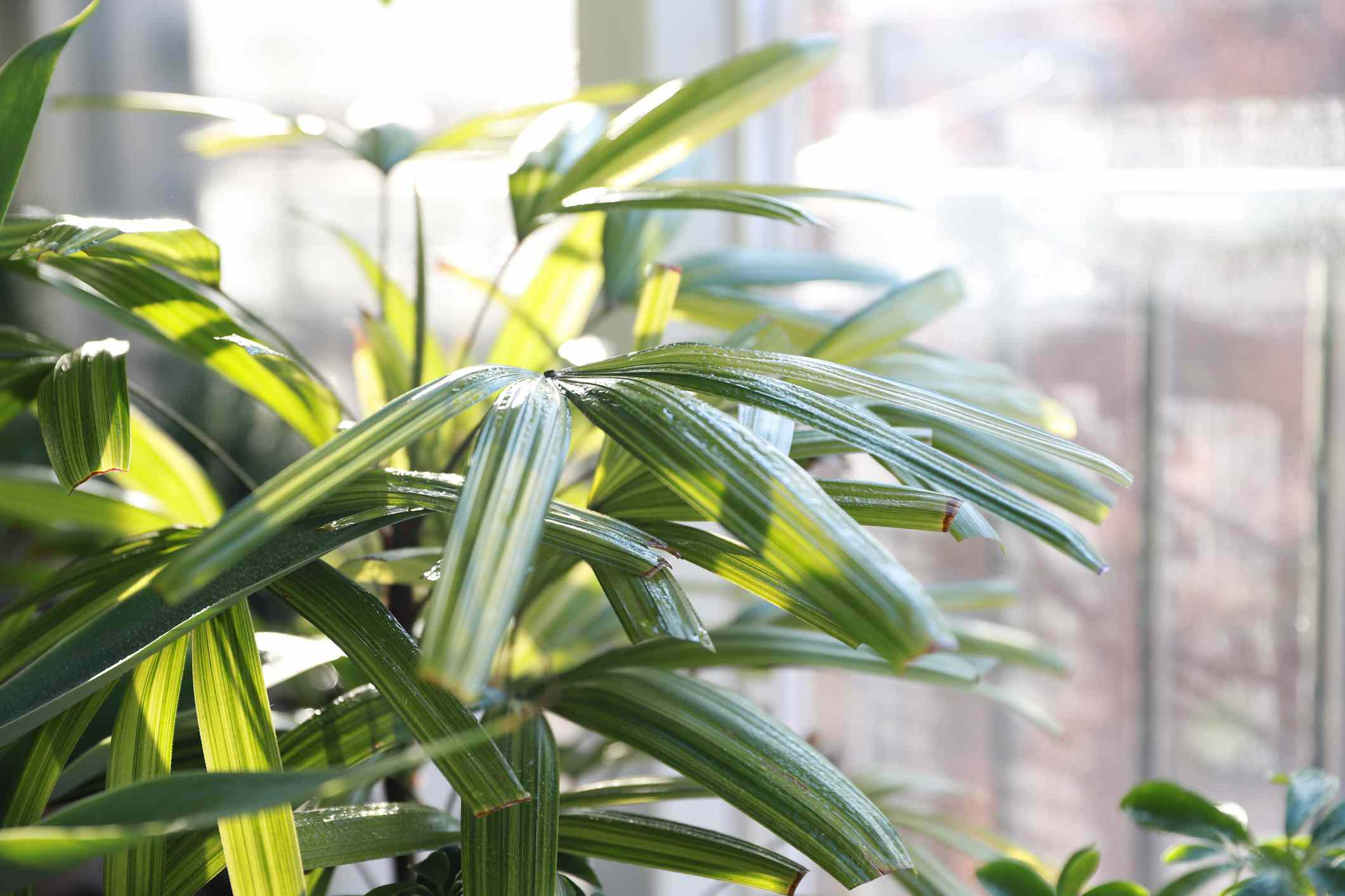 Bamboo palm leaves in sunlight indoors