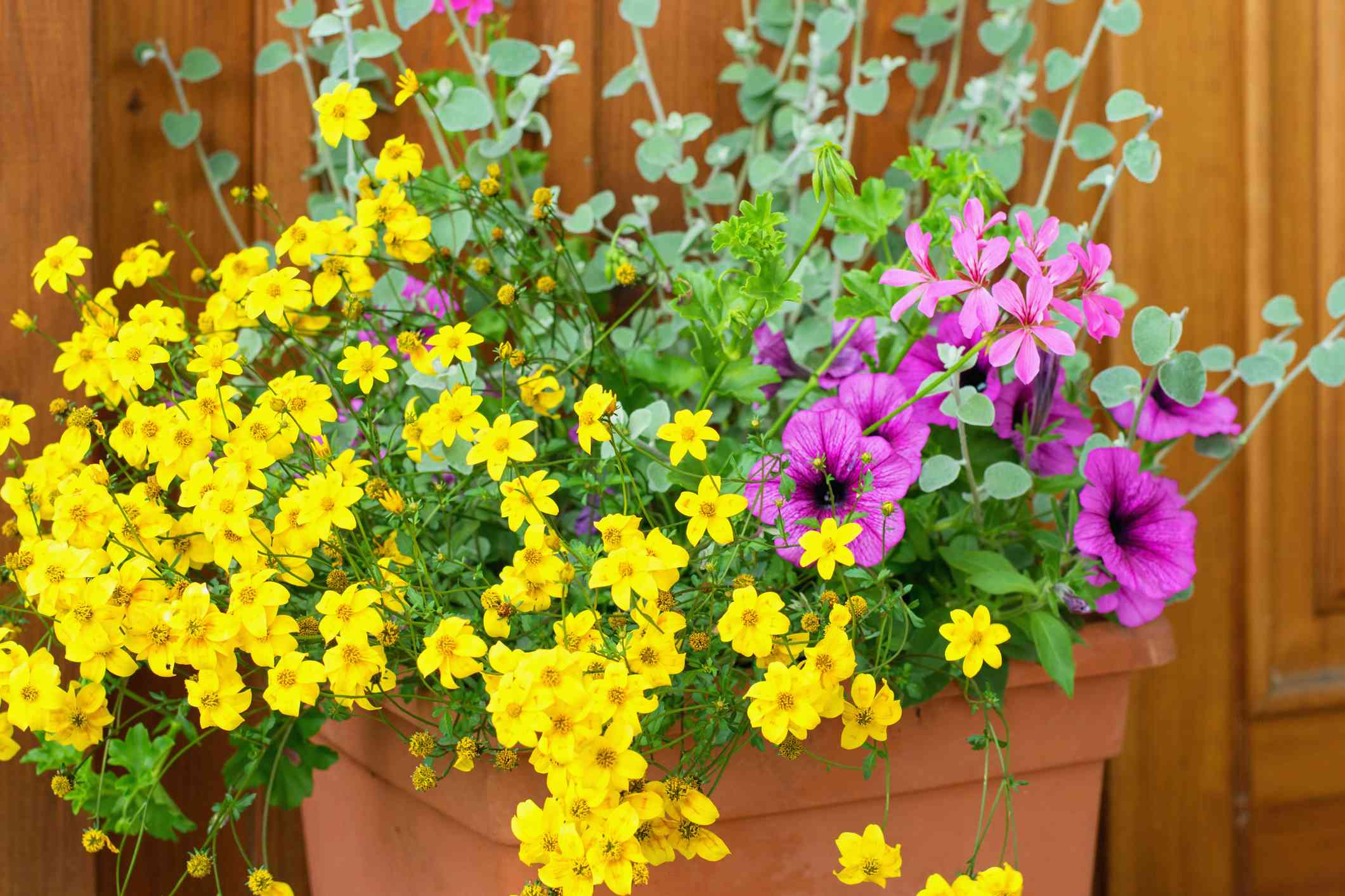Yellow Coreopsis flowers in box.