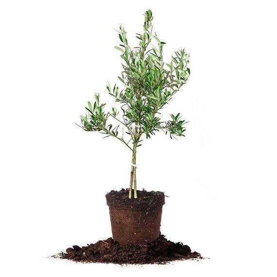 Perfect Plants Nursery Arbequina Olive Tree
