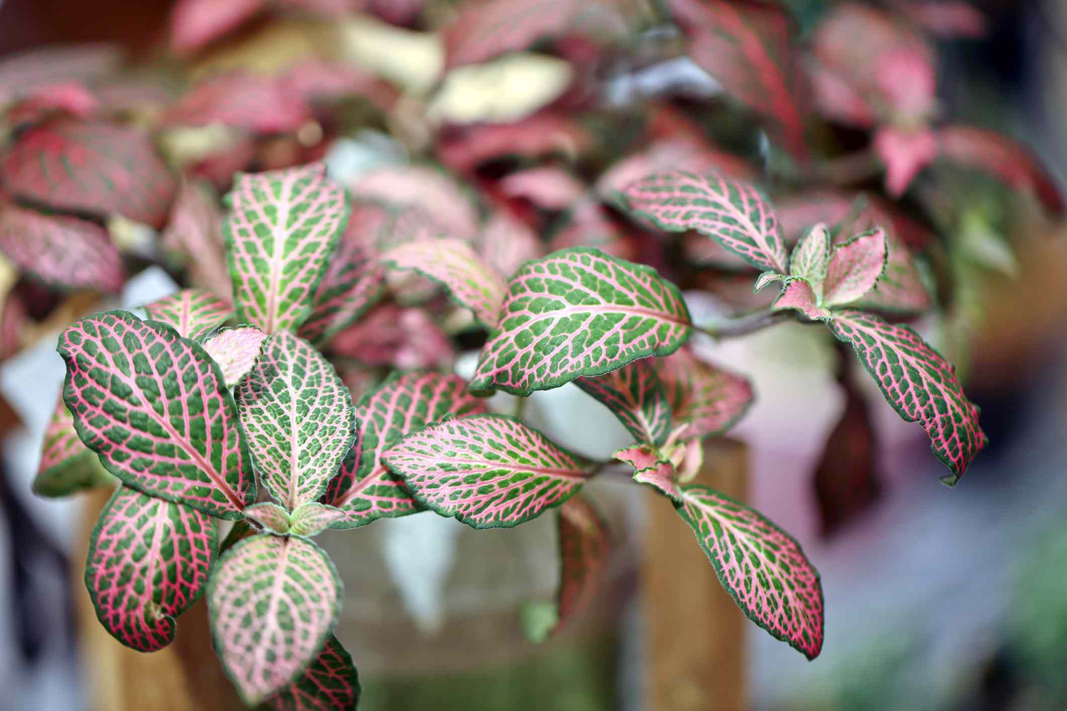 closeup of pink and green fittonia plant