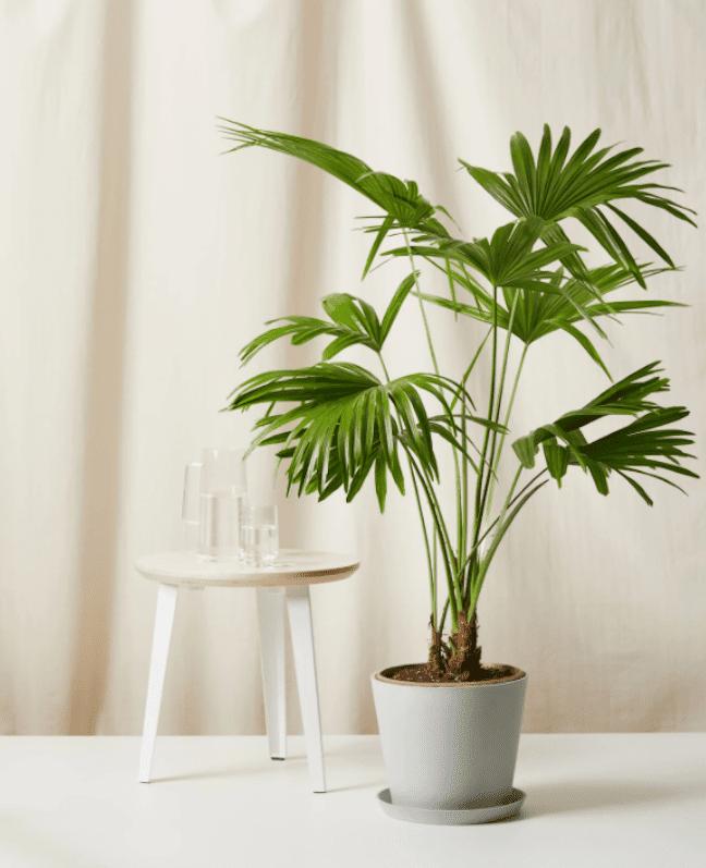 Chinese Fan Palm.