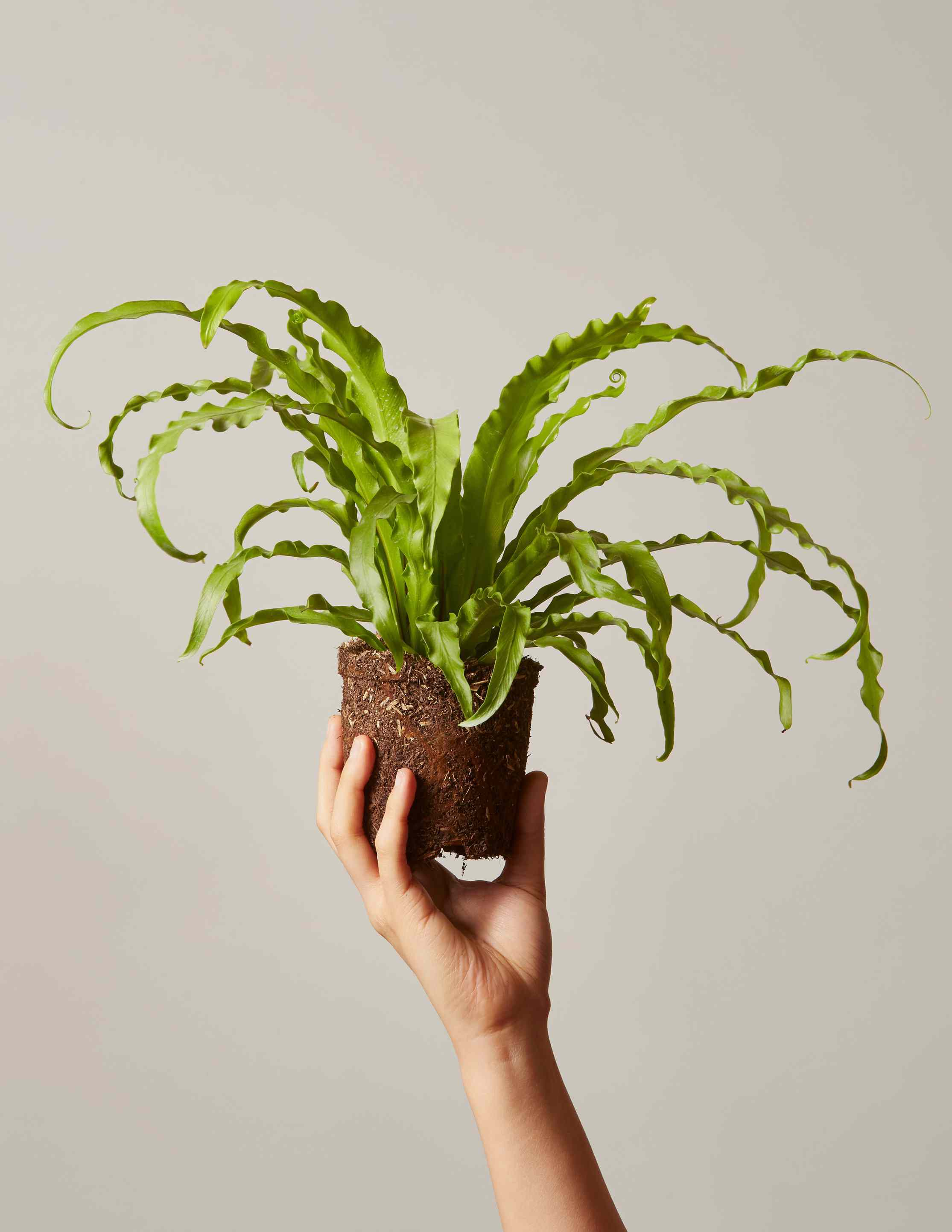 hand holding bare-root bird's nest fern with arching, wavy green leaves