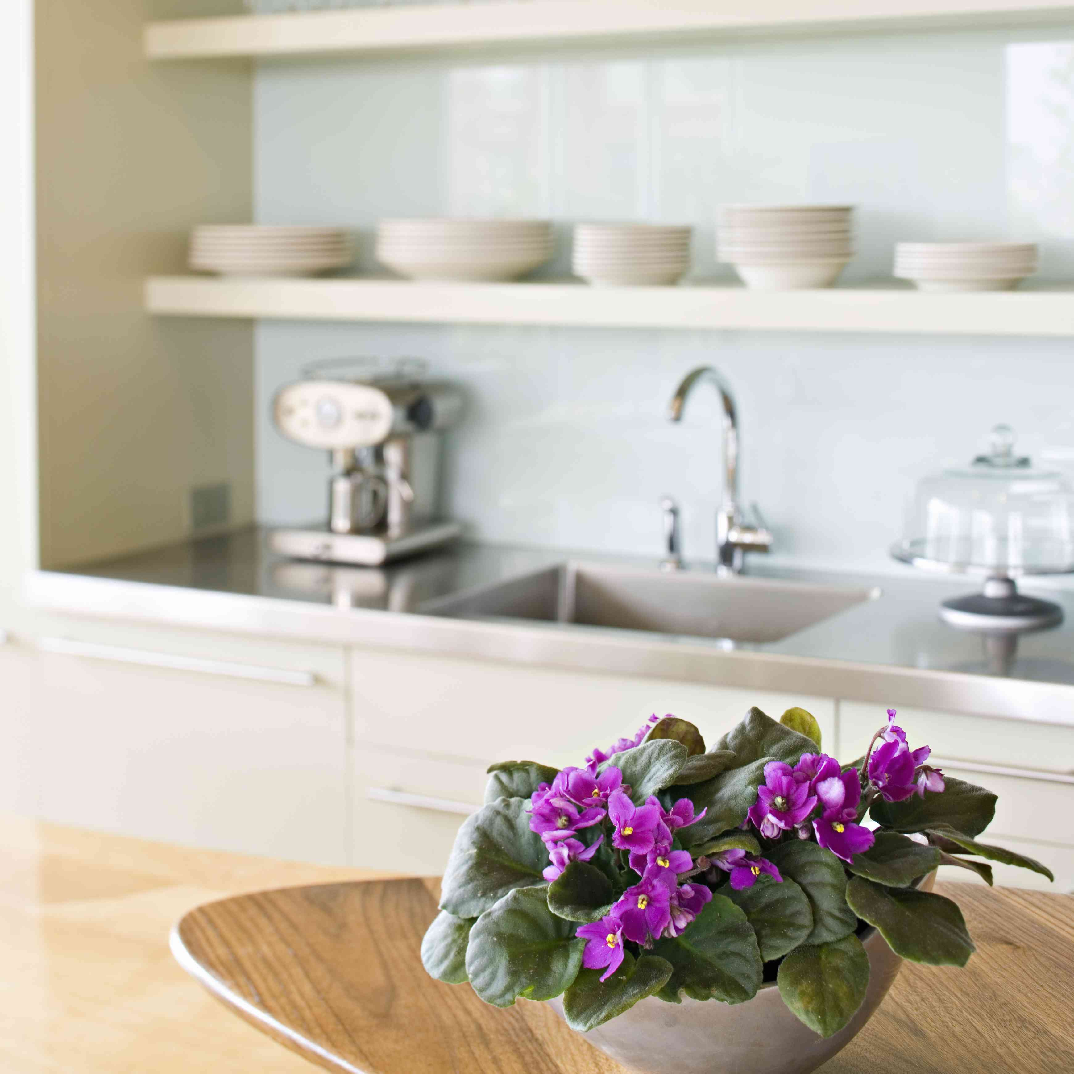 African violet on kitchen counter