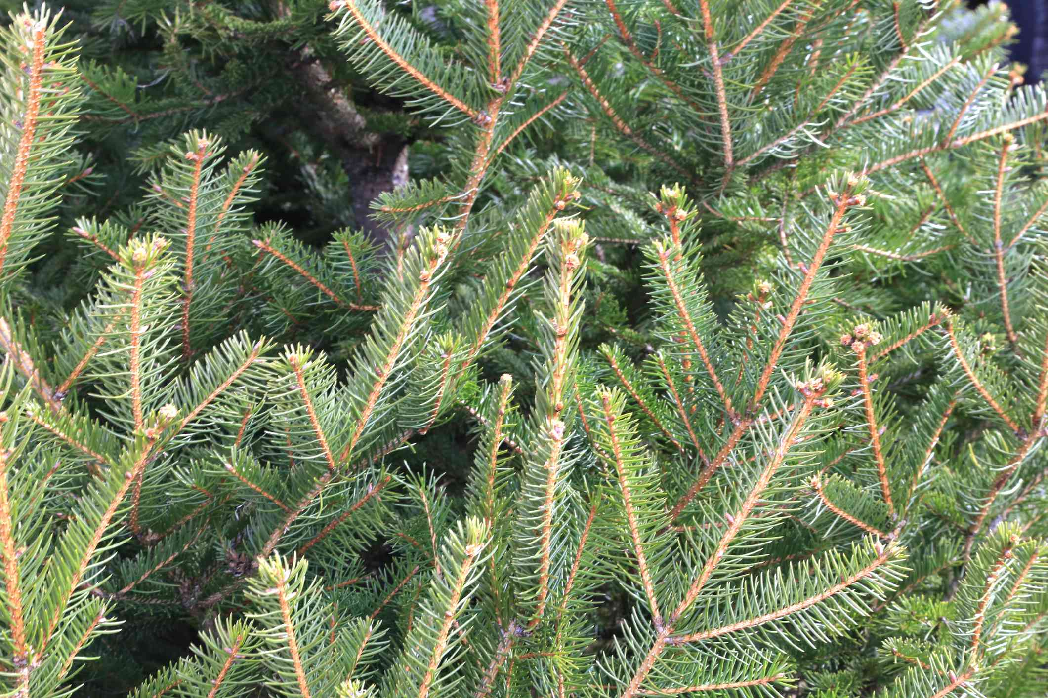 closeup of norway spruce branches with brown twigs and short green needles