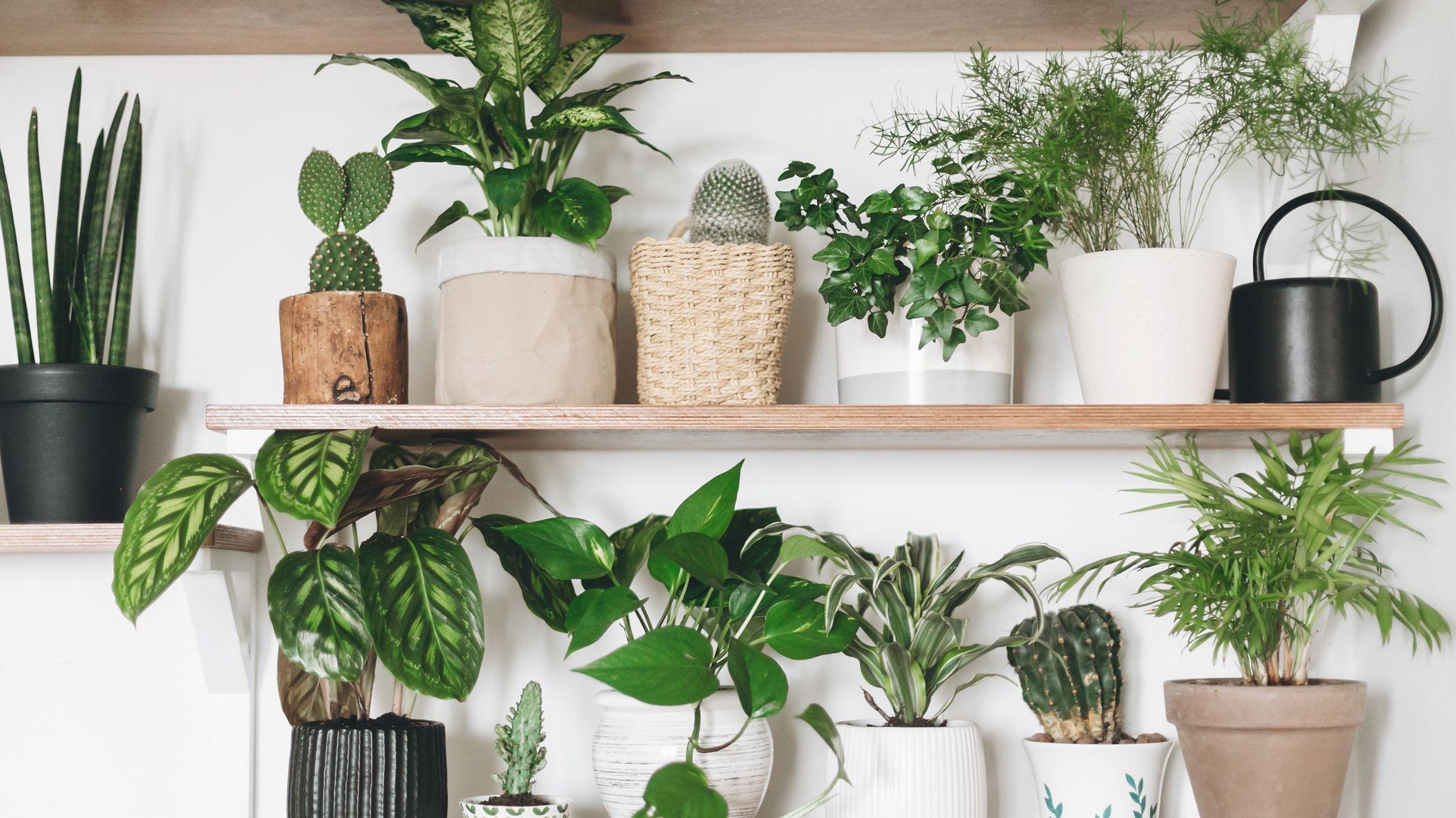 Pothos Plant Devil S Ivy Care Growing Guide