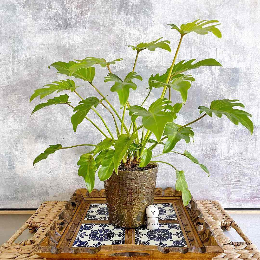philodendron xanadu gold in brown pot on blue and white wooden tile tray
