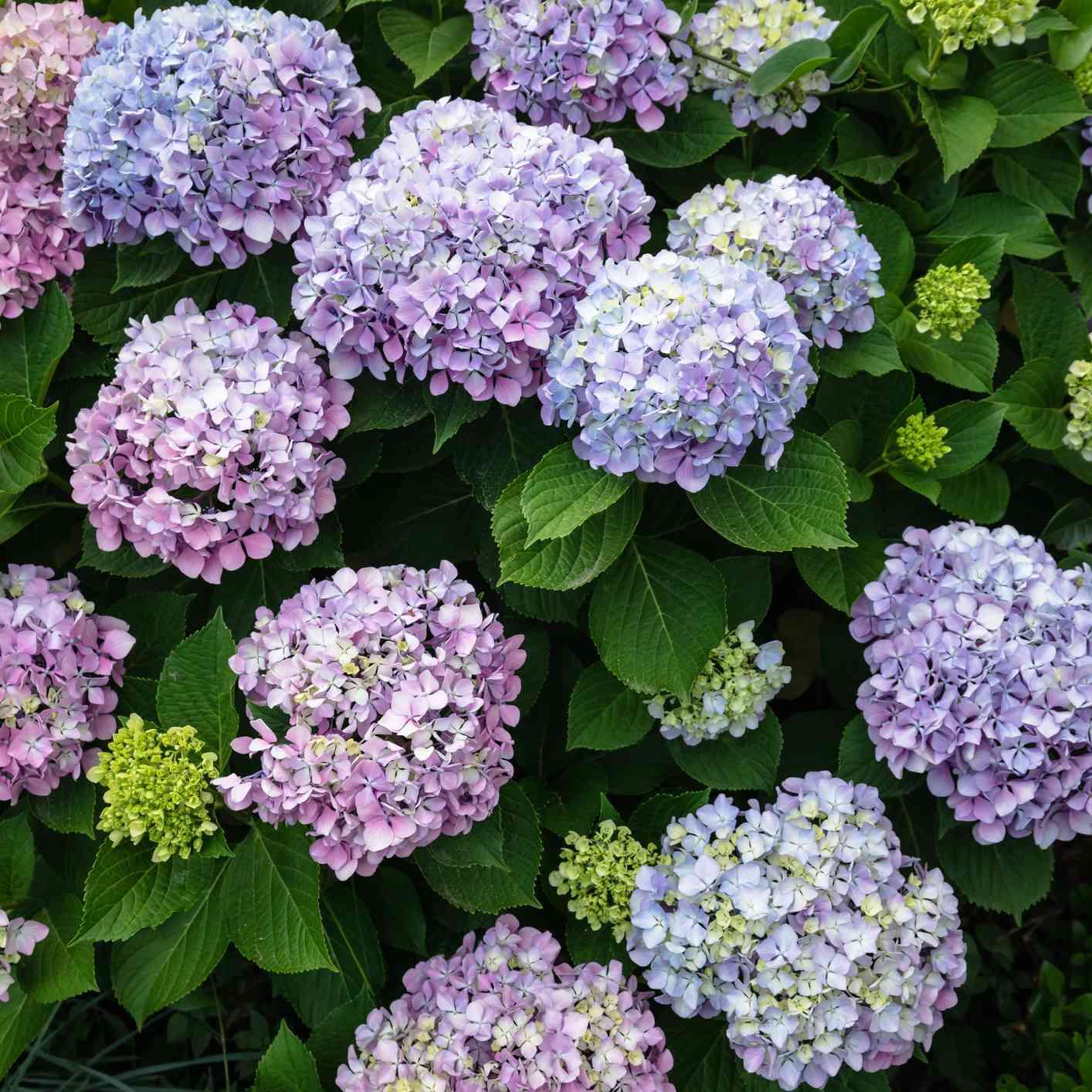 purple, blue, and lime green hydrangea bush