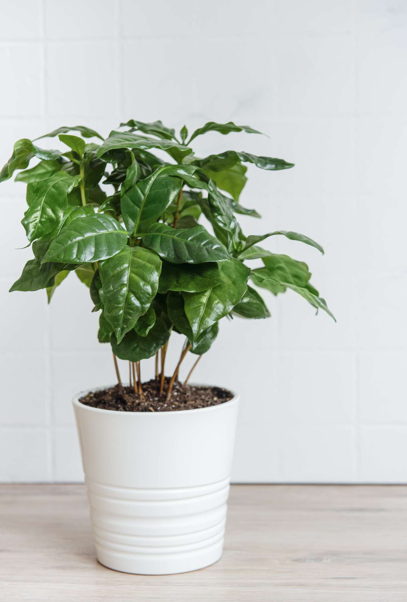 Coffee plant growing in fresh pot