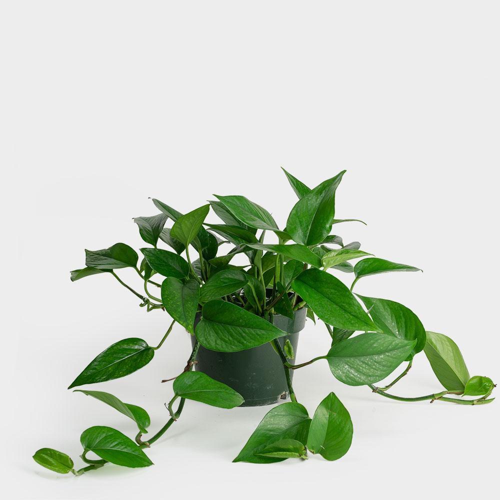 Jade pothos in a grower's pot