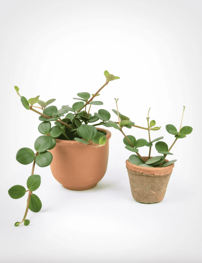 Two potted peperomia plants in terracotta planters.