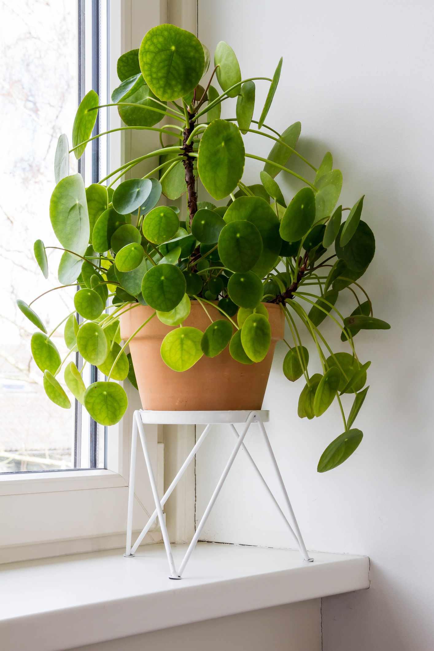 Large pilea peperomioides in a terra cotta pot on a windowsill