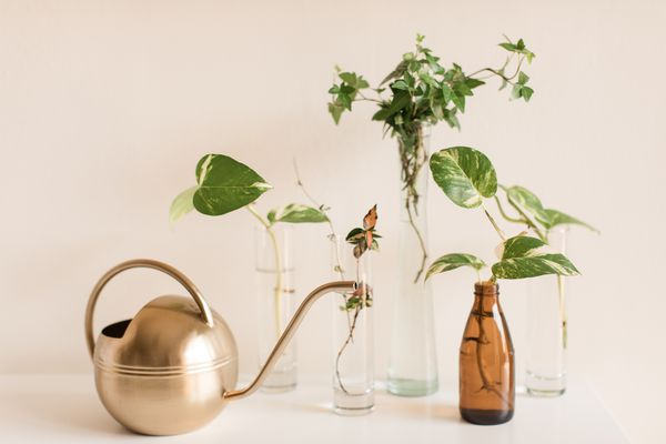 Propagating a Green English Ivy & Pothos Plants. A dark green English Ivy and pothos in vases propagating in bright natural light. A modern gold watering can is featured. English Ivy and pothos are easy-care houseplants that grow quickly and are easy to propagate.