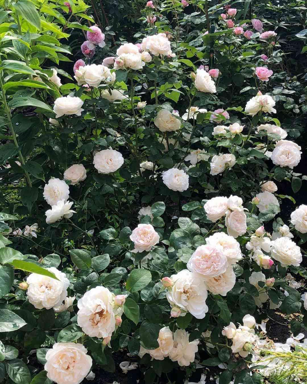 Light pink roses.