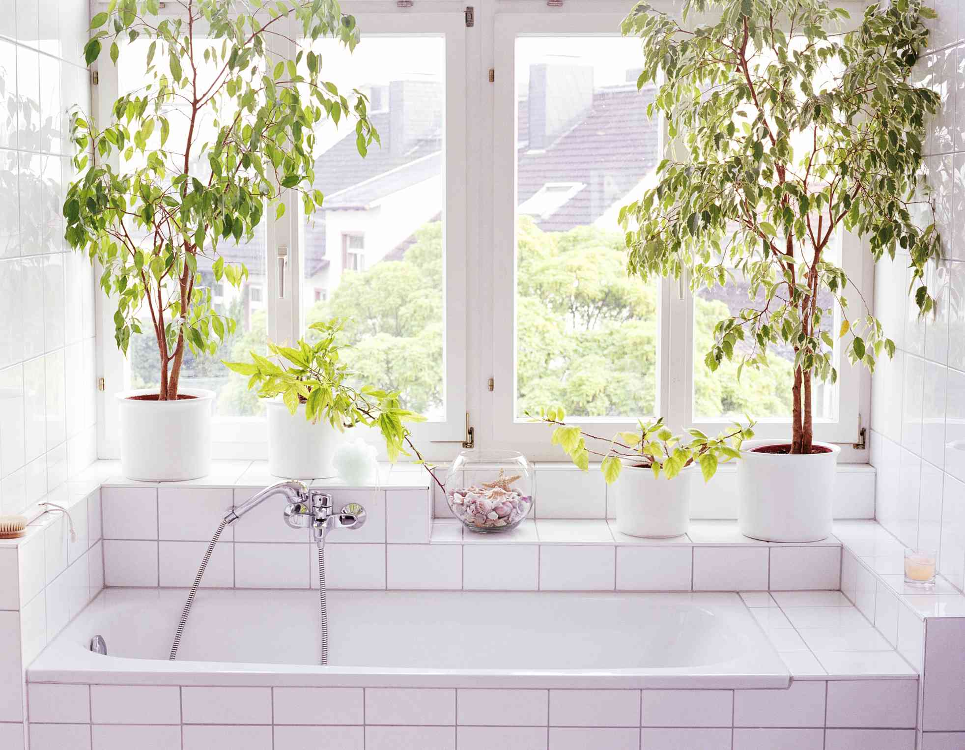 two weeping fig trees in white pots on a shelf above a white bathtub with a window