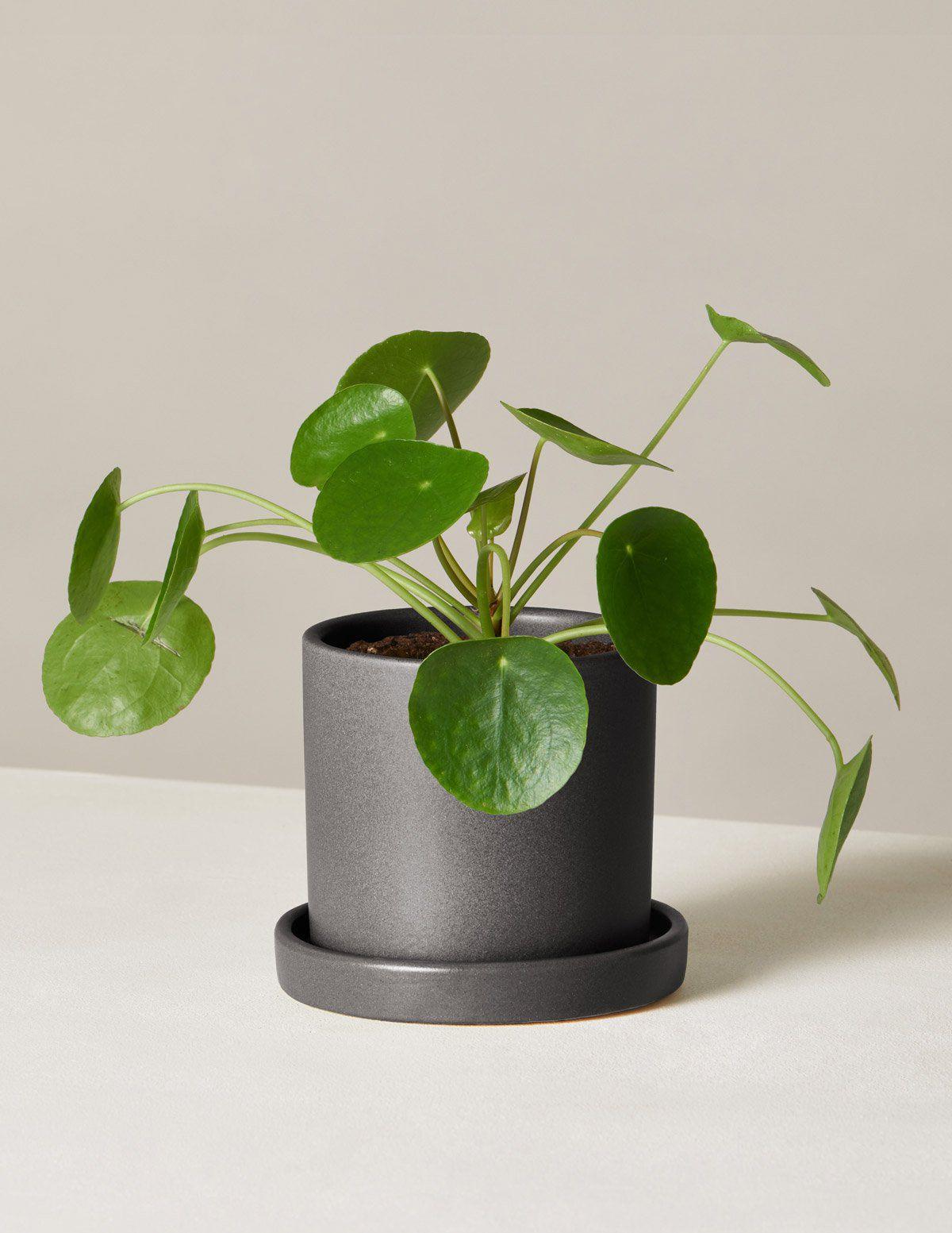 Pilea peperomioides in a black ceramic pot