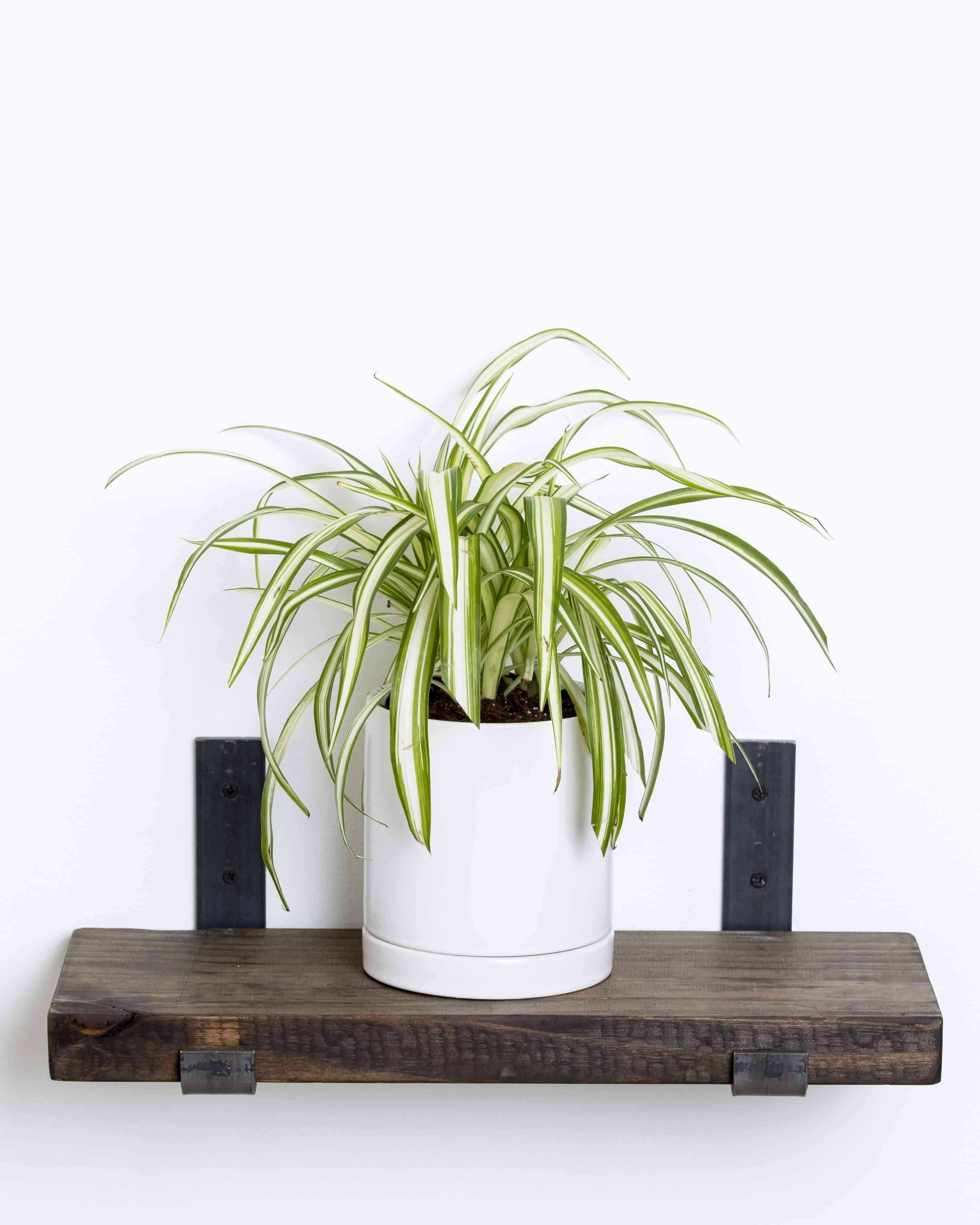 Spider plant in white planter on a rustic wood shelf
