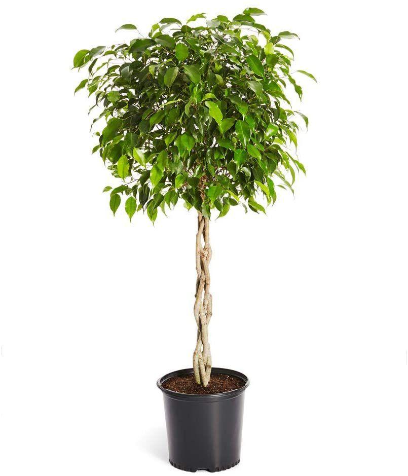 Ficus benjamina tree in grower's pot