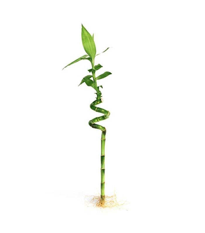 Eastern Leaf Spiral Bamboo