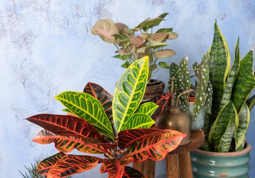 croton with red, green, and yellow leaves in grat pot with other houseplants in front of gray background