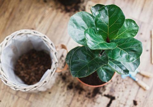 planta de higo hoja de violín