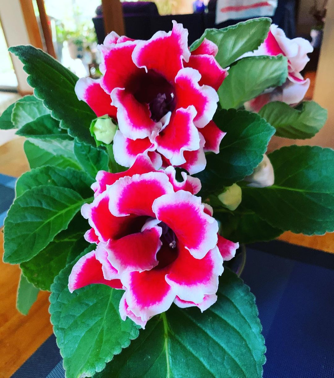 Everything You Need to Know About Growing and Caring For Your Gloxinia