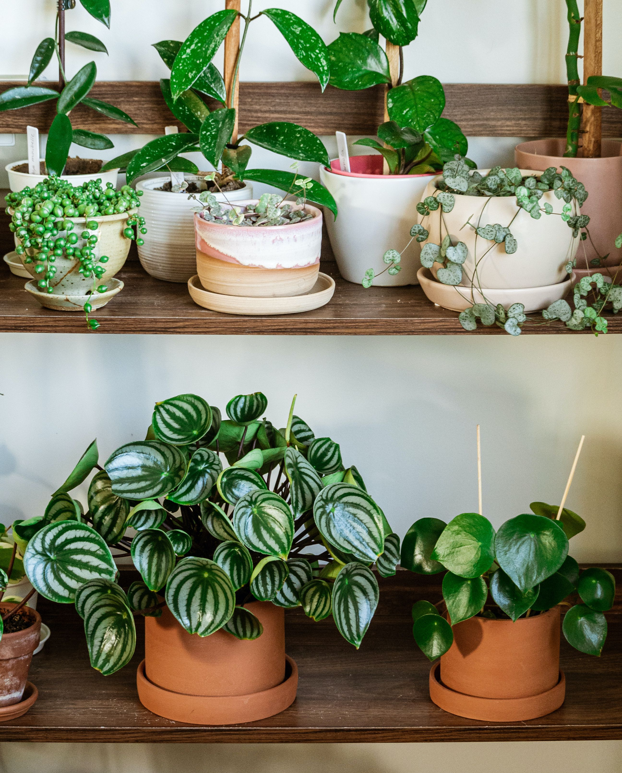 Peperomia Radiator Plants Care Growing Guide