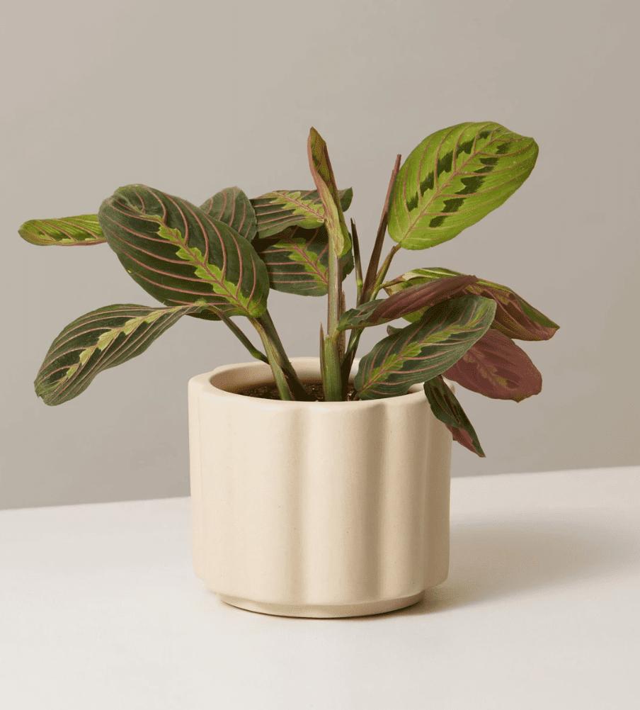 potted maranta plant