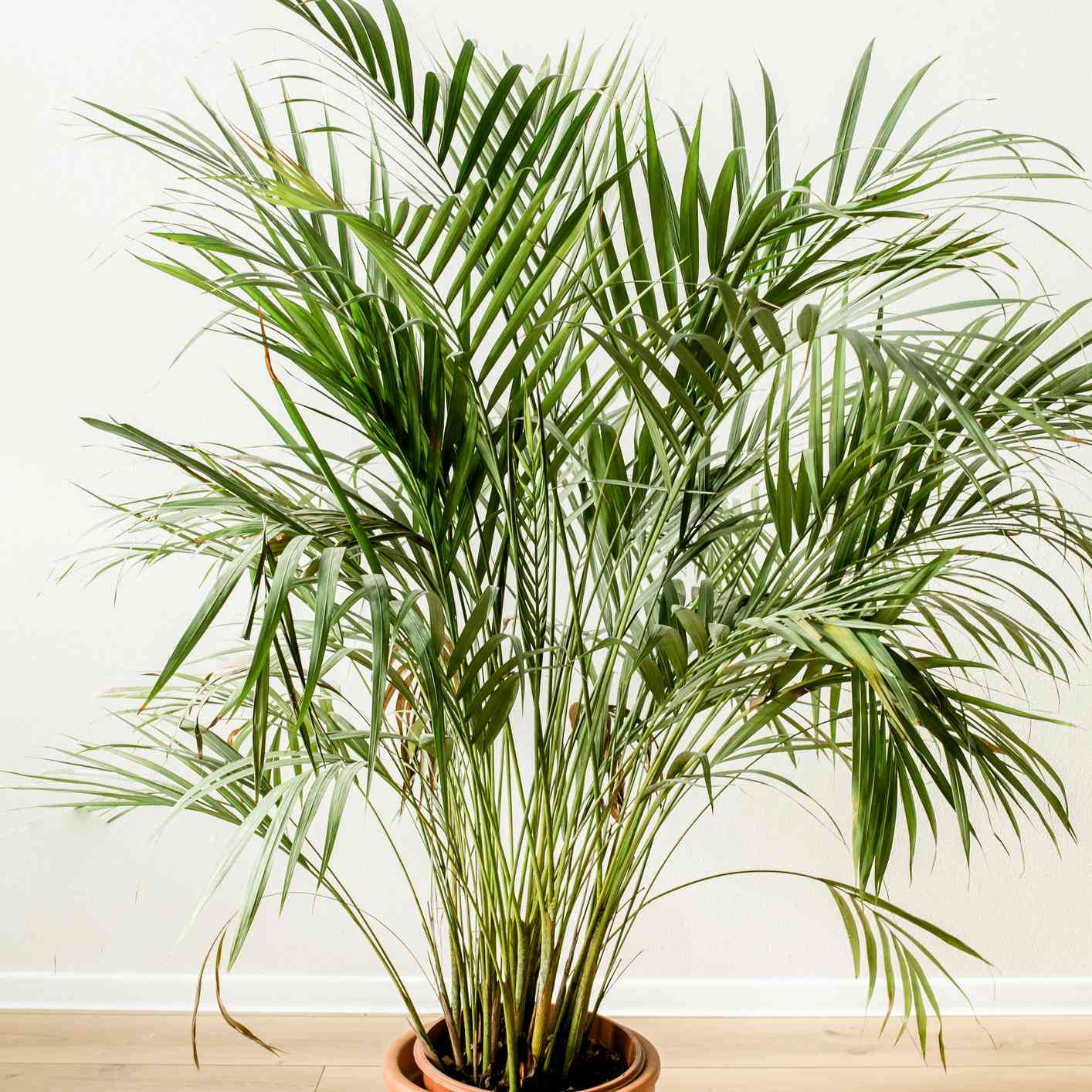 Indoor palm tree plant care