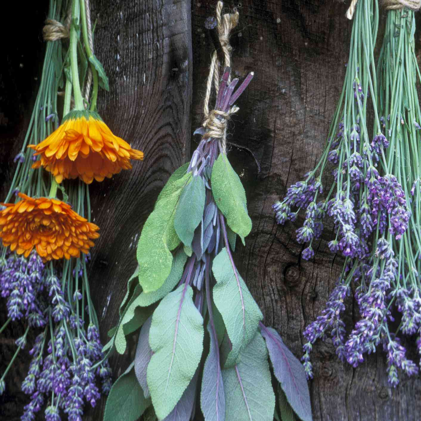 bunches of herbs hanging upside down to dry in front of wood wall