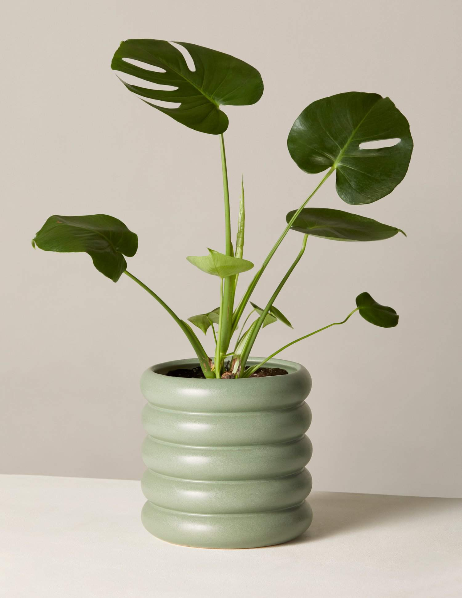 The Sill Monstera in Medium Dolores Planter