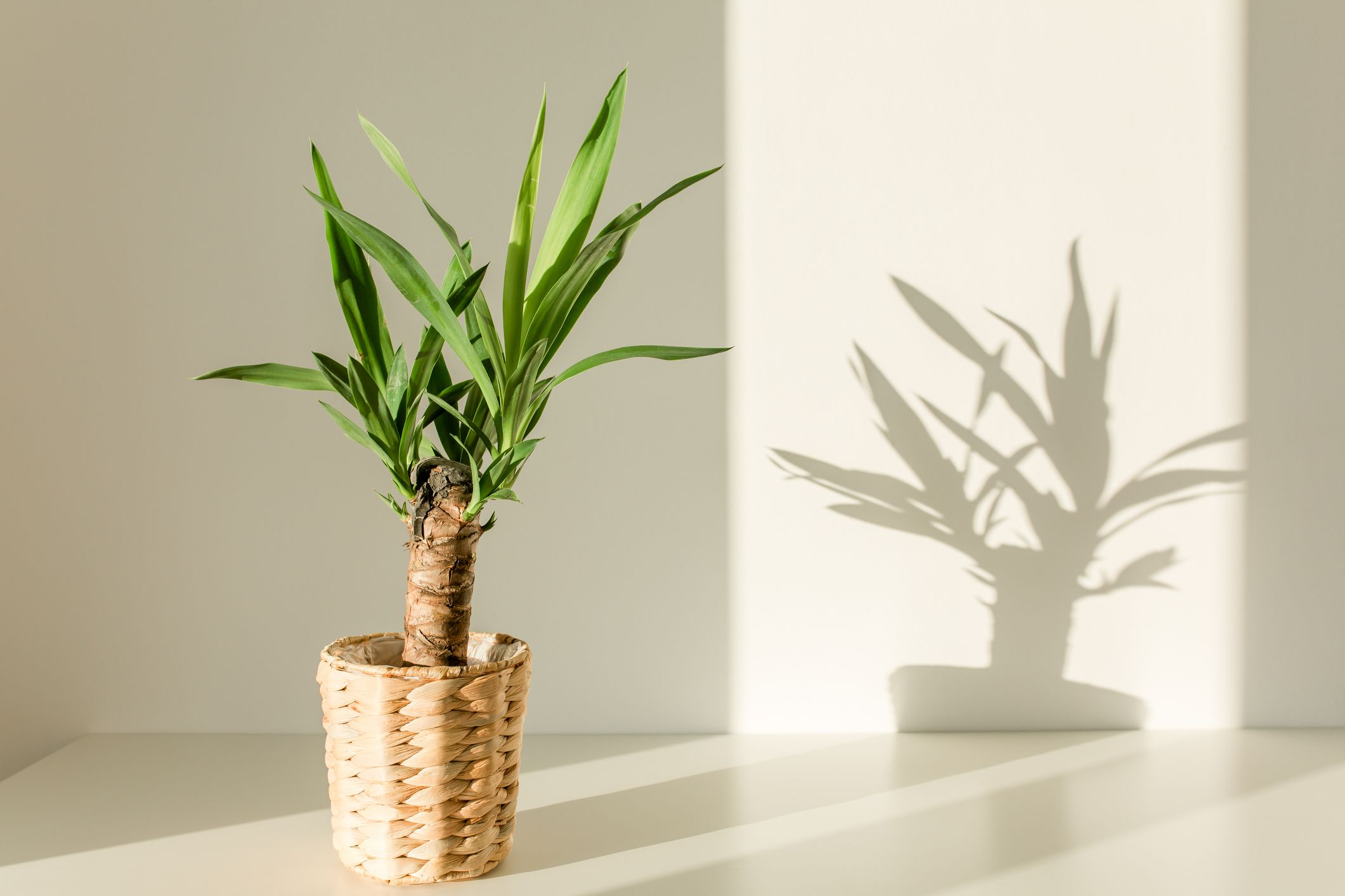 Small potted yucca plant in sunlight