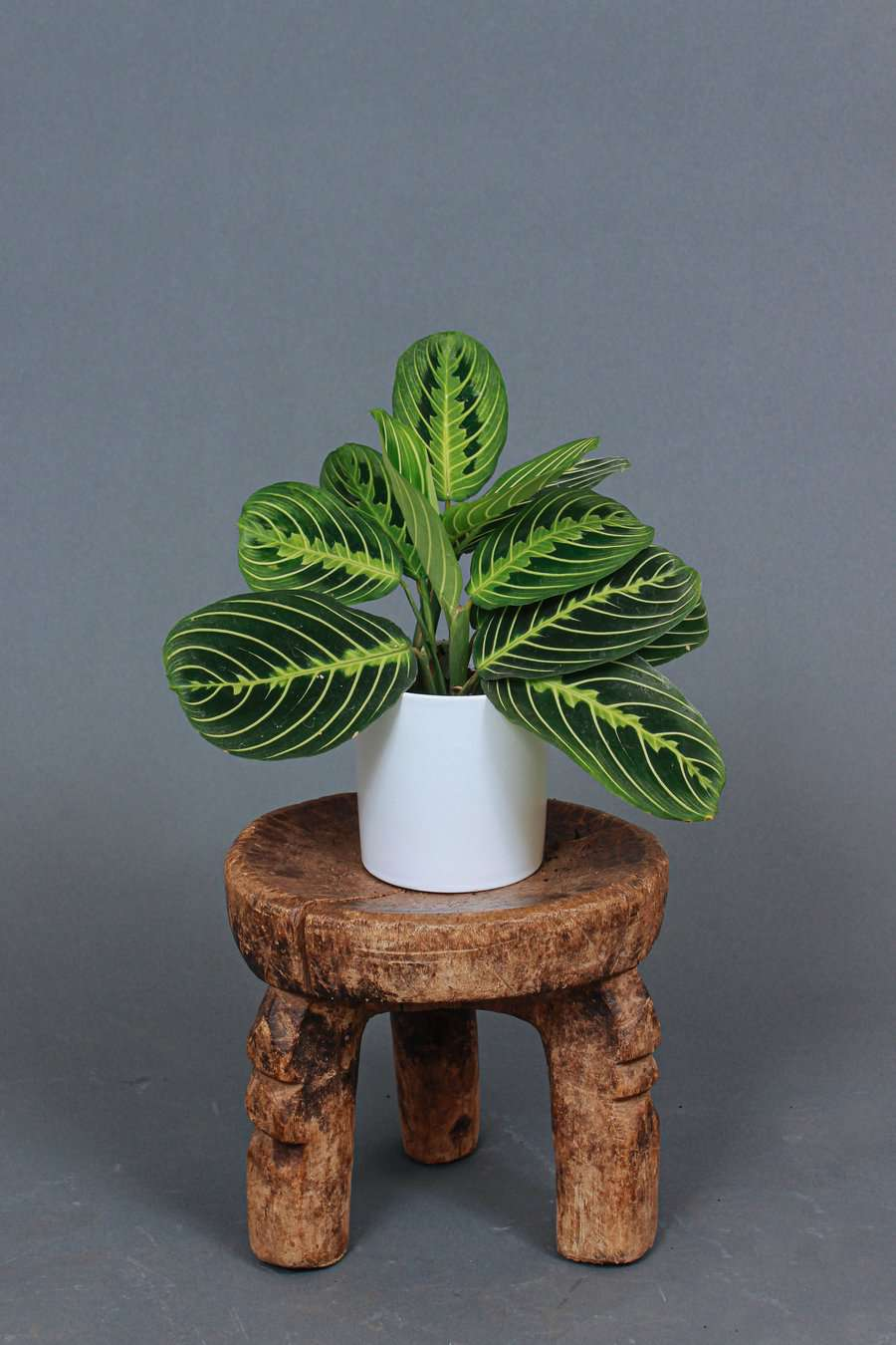A lemon-lime prayer plant, currently for sale at Grounded