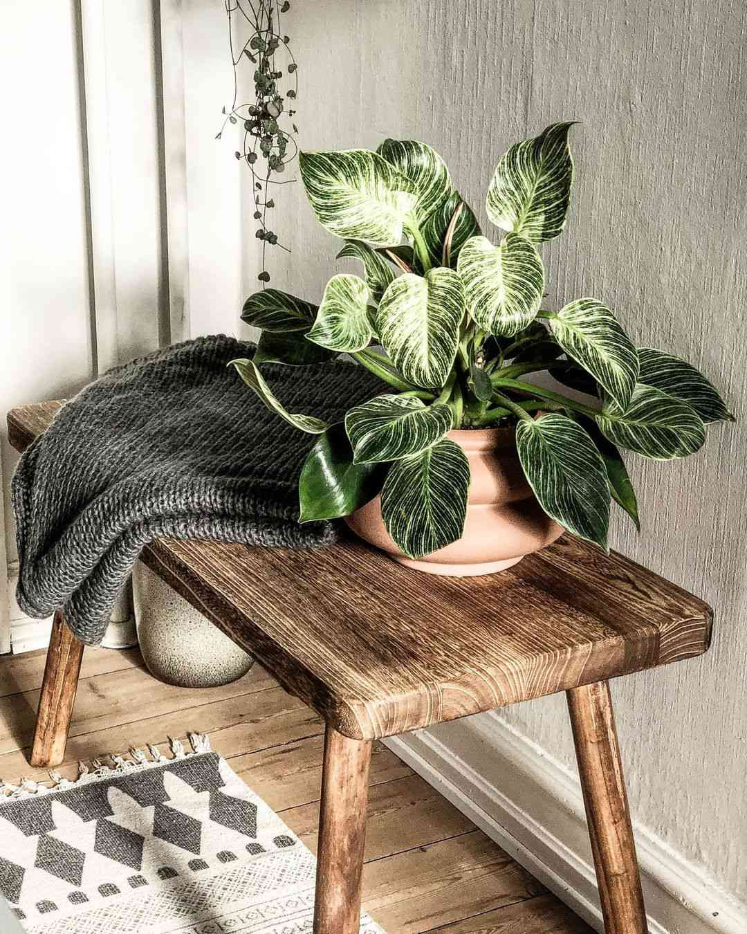 philodendron birkin in terra cotta pot on low wooden table with gray knitted blanket