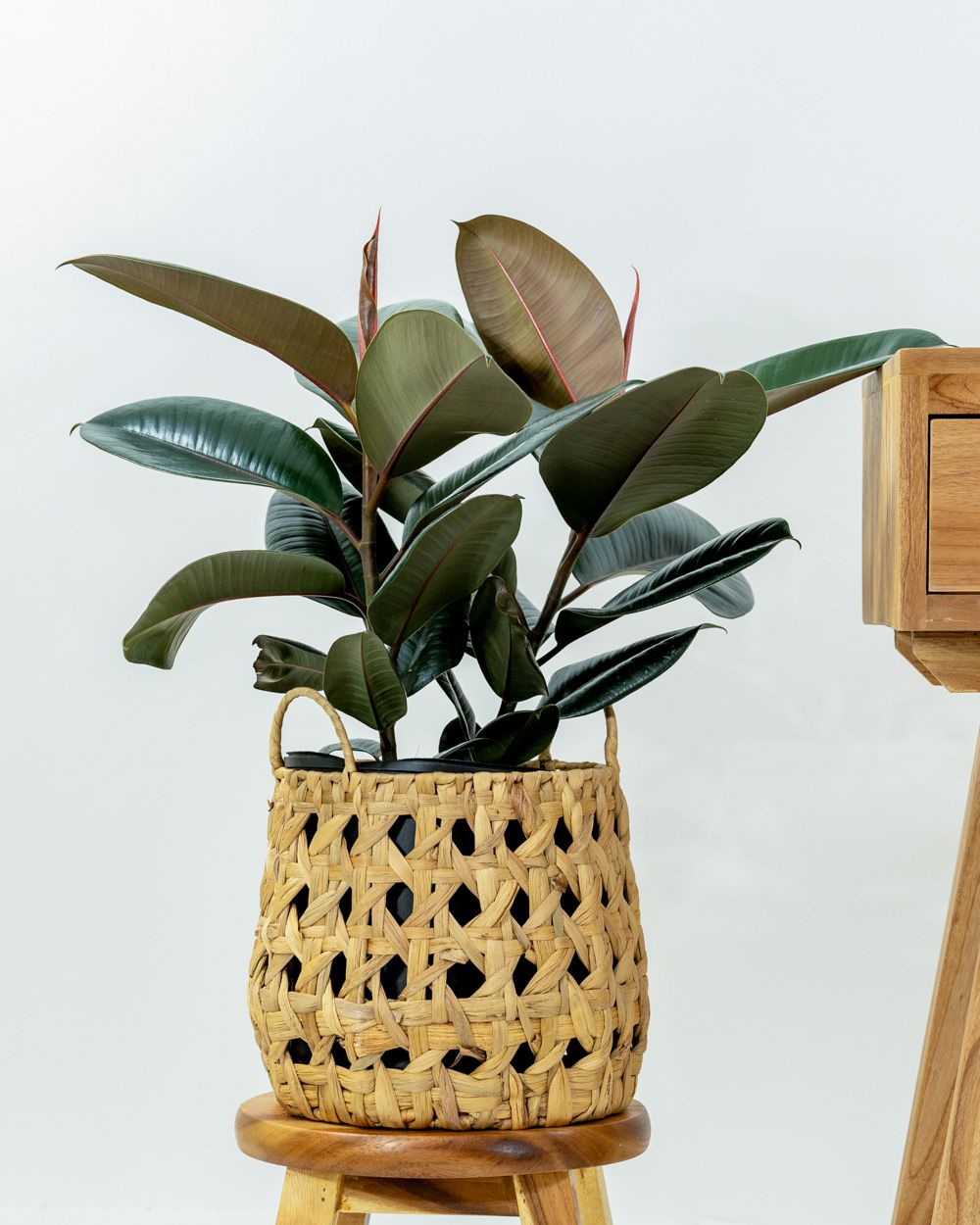 Medium rubber plant in a boho basket on a wood stool