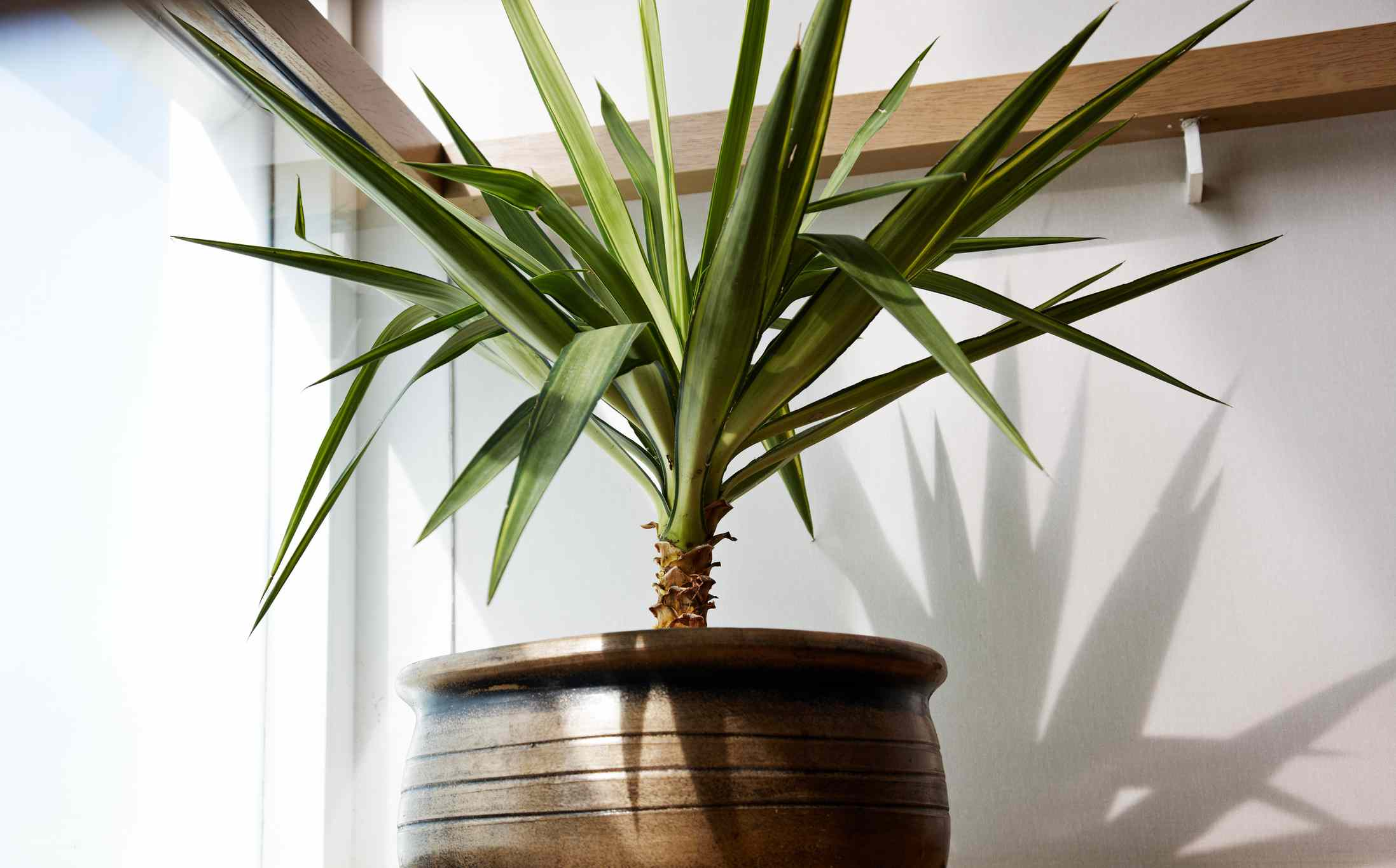 Small potted yucca growing in indirect light