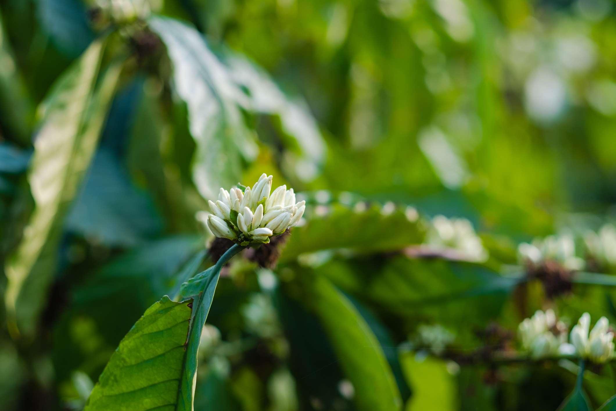 Blooming coffee plant leaves