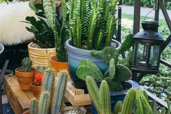 A collection of cacti, planted in blue ceramic pots and classic terracotta pots