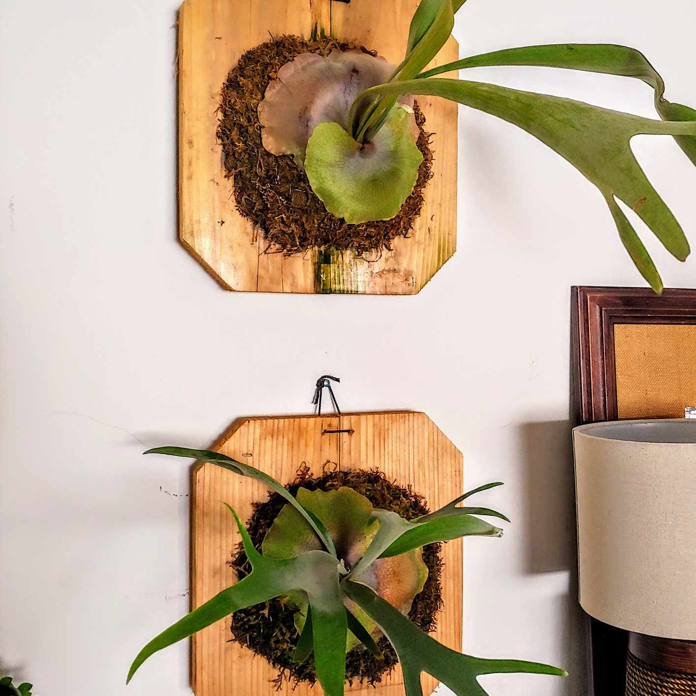 two staghorn ferns mounted on wood boards on white wall