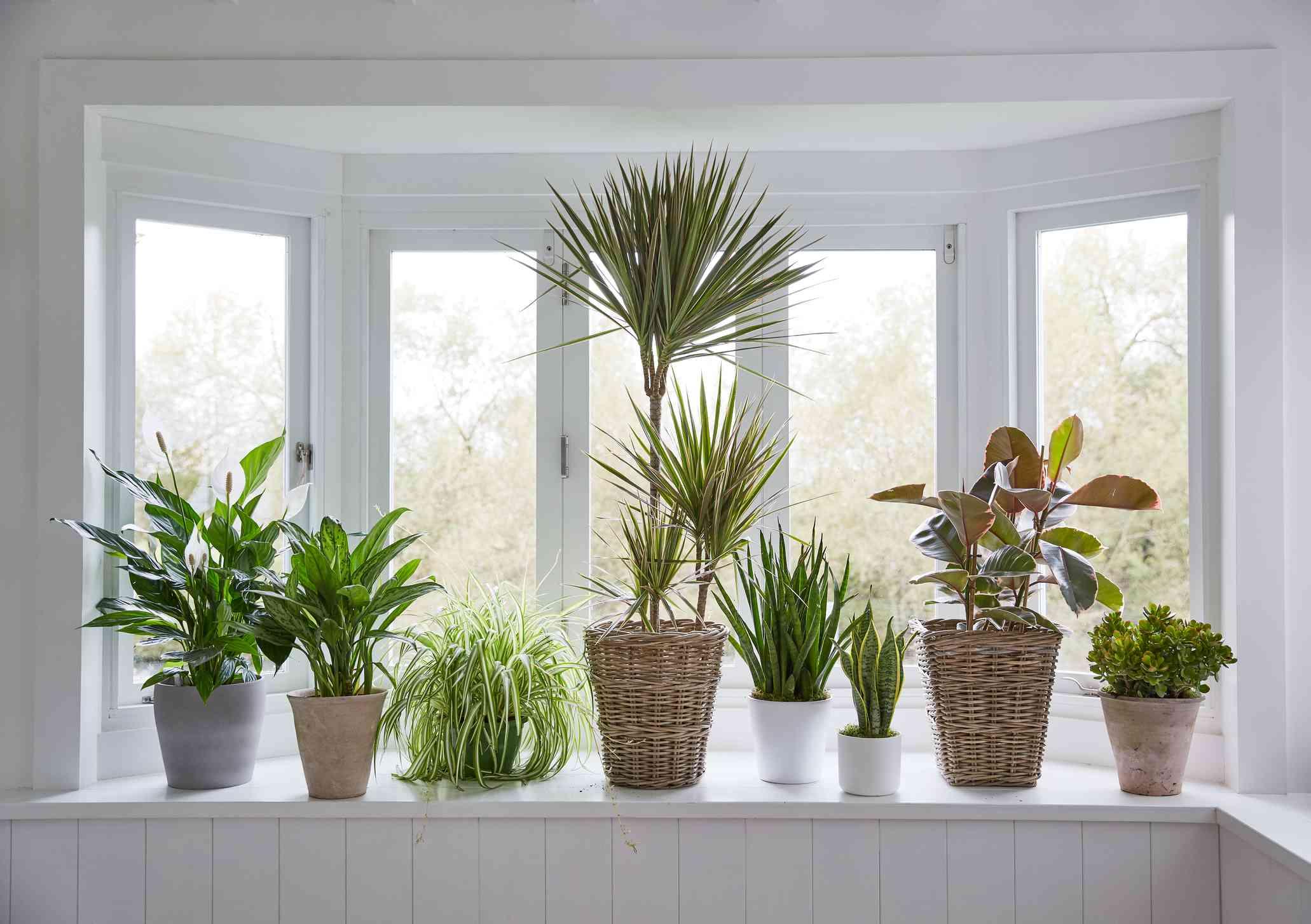 houseplants in pots on white windowsill in front of bay window
