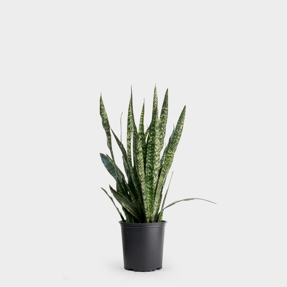 Snake plant in a black grower's pot