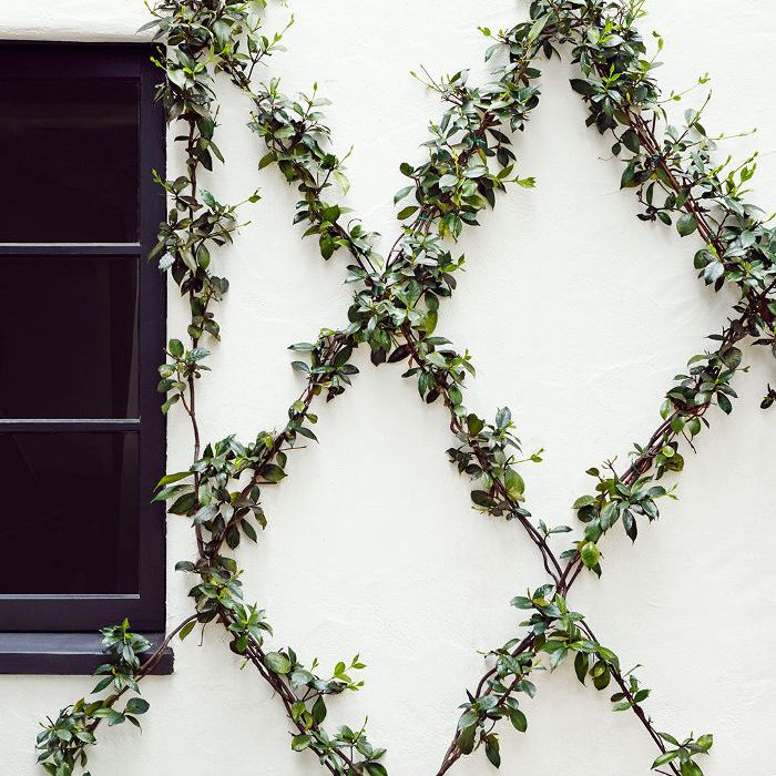 Vinery on a wall