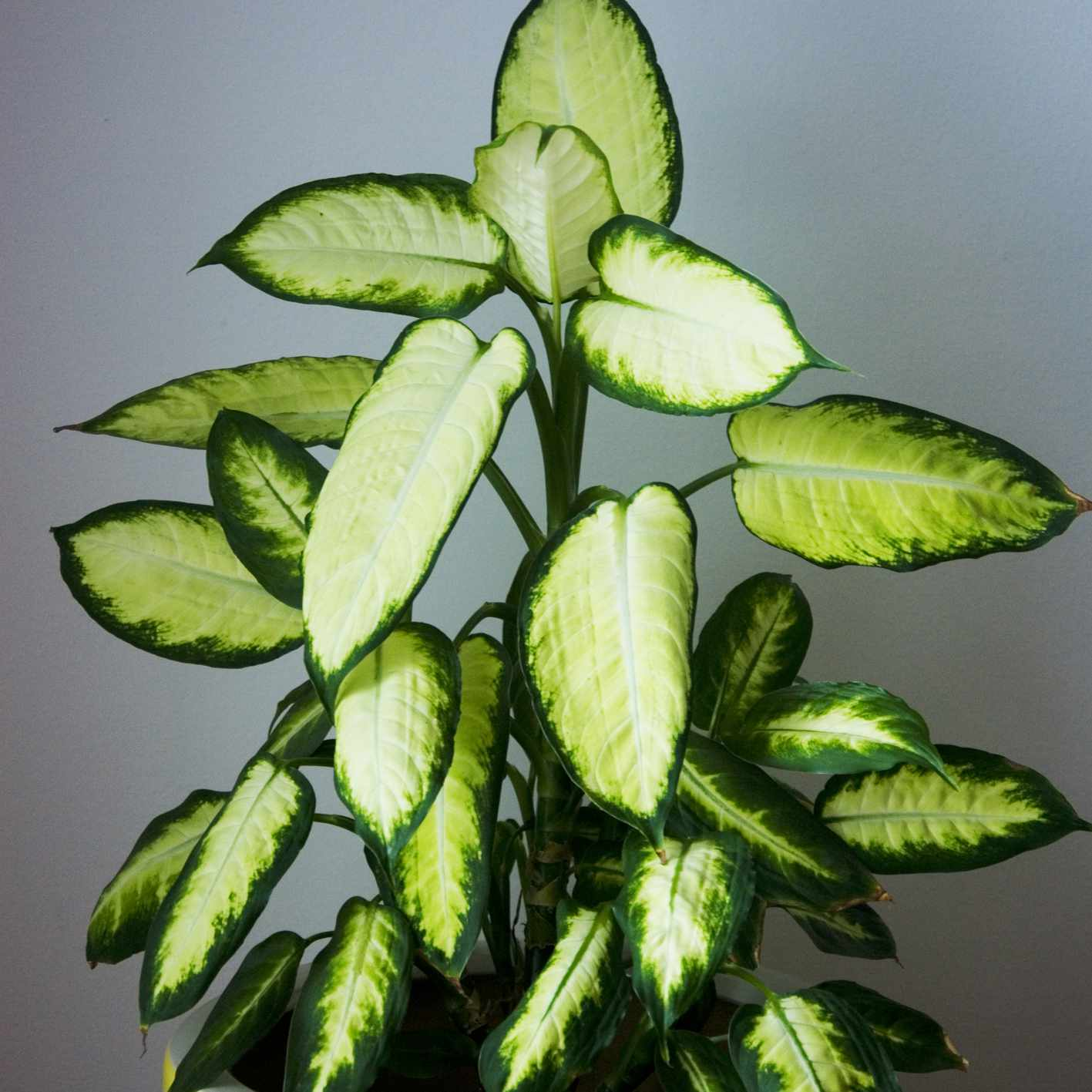 dumb cane plant with light and dark green leaves in yellow pot
