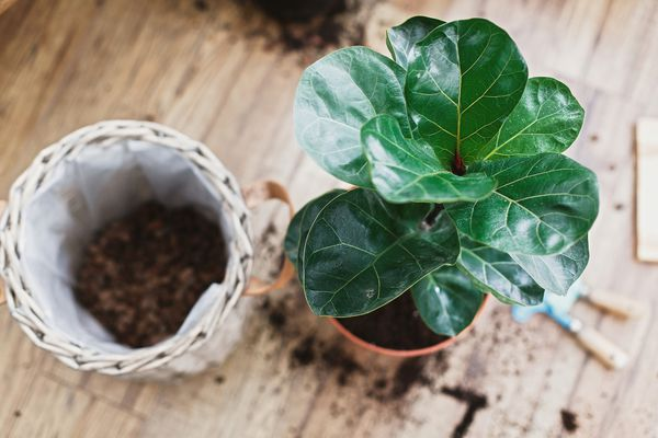 A fiddle-leaf fig plant with green leaves