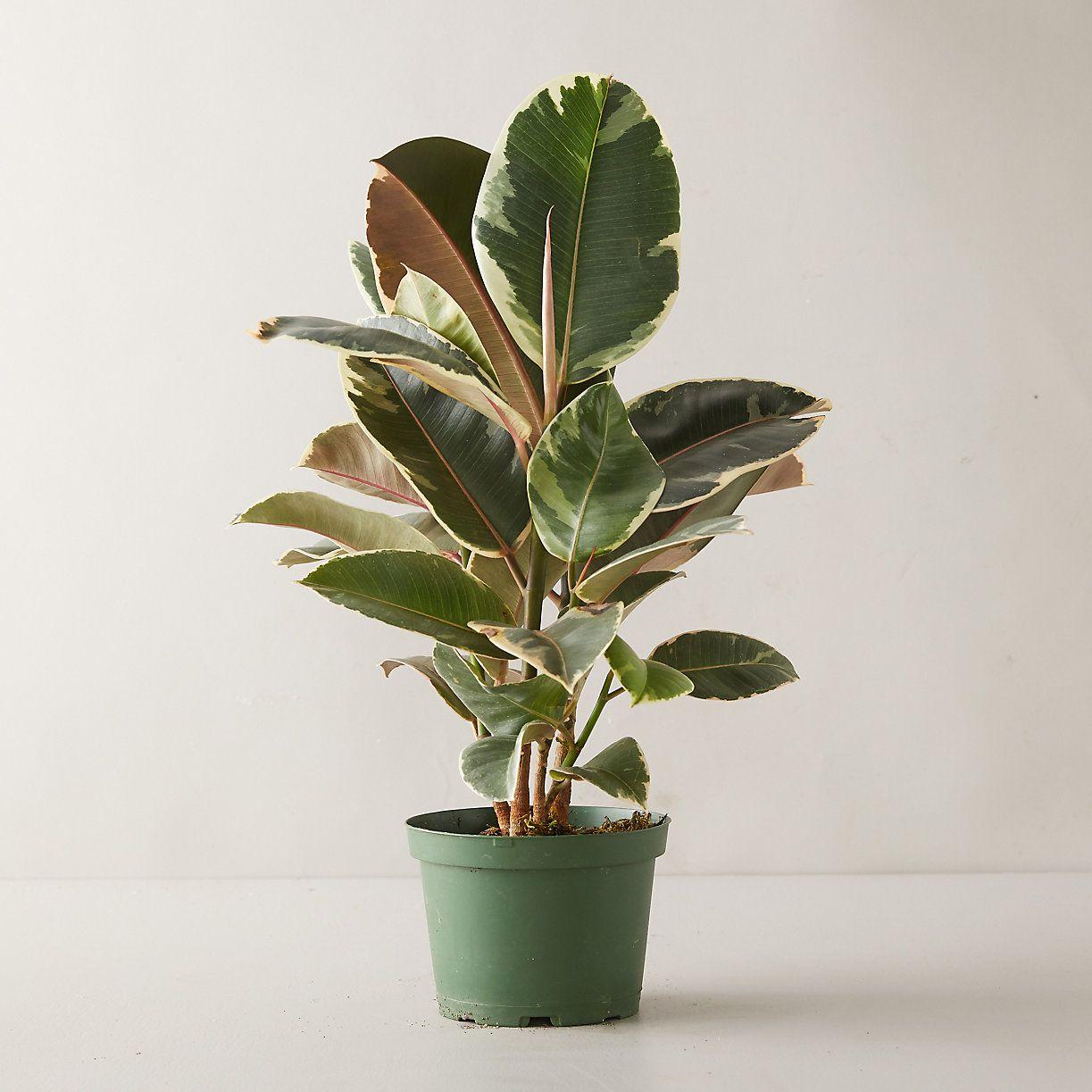 Terrain Tineke Ruby Ficus