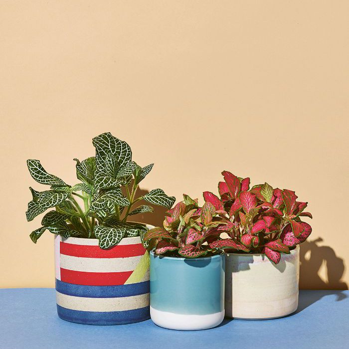 Low-Light Indoor Plants — Fittonia