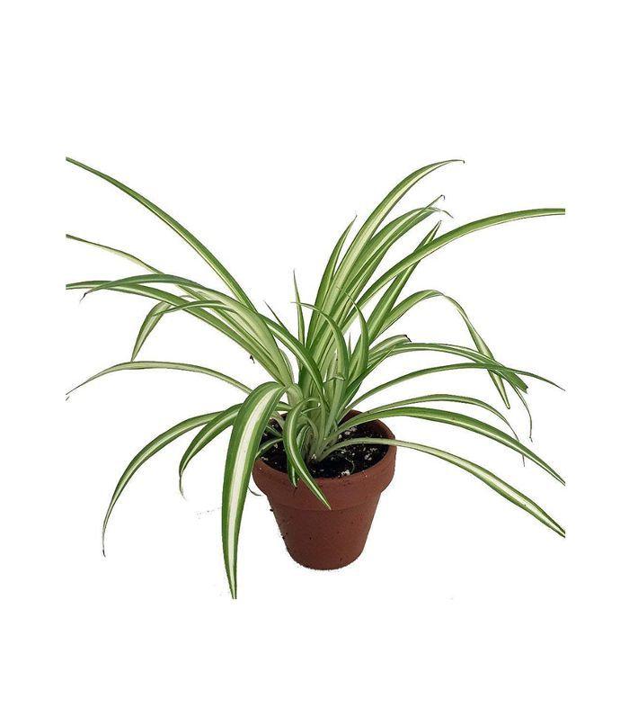 Hirt S Ocean Spider Plant 13