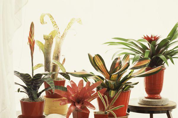 Potted bromeliad plants